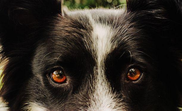 Punkit löytyvät useimmiten silmien ja korvien ympäriltä, mutta voivat sijaita missä. Eläinlääkäri Mervi Saviranta neuvoo tarkistamaan myös koiran varvasvälit ja korvalehdet.