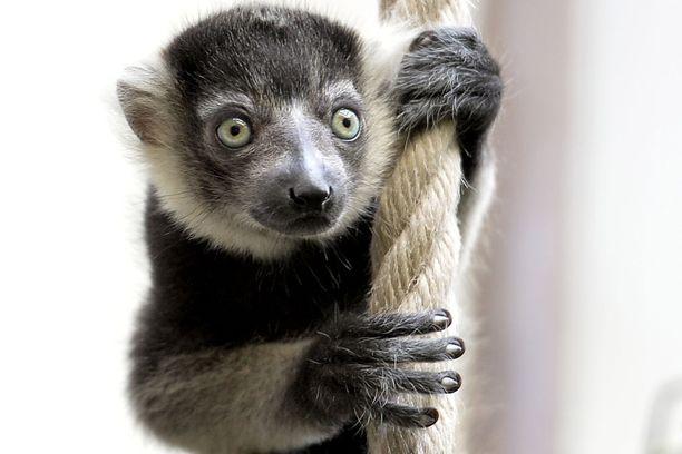 Ilmastonmuutos uhkaa muun muassa Madagaskarin kotoperäisiä lajeja.