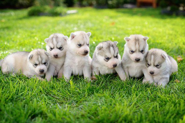 Koiranpentuja tutustumassa kotipihaan.