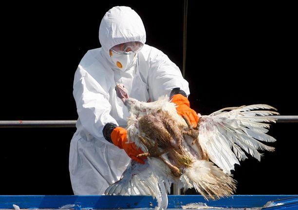 Kuva on vuodelta 2007, jolloin Tšekin terveysviranomaiset havaitsivat H5N1-virusta paikalliselta maatilalta.