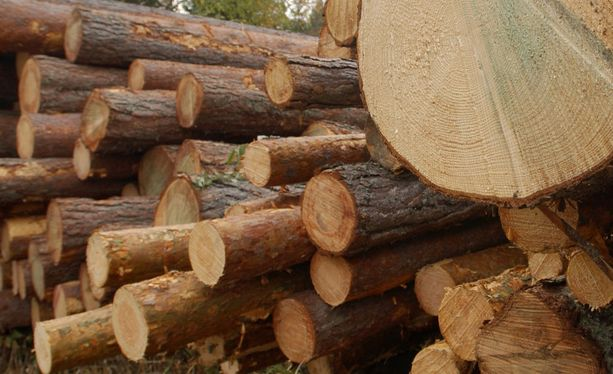 Metsähallitus vaati suuria vahingonkorvauksia Stora Ensolta, Metsäliitolta ja UPM-Kymmeneltä alihintaisista raakapuukaupoista. Kuvituskuva.