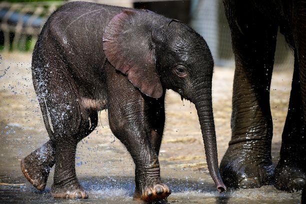 Norsut ovat älykkäitä ja sosiaalisia. Afrikannorsujen määrä on romahtanut kymmenessä vuodessa, kertoo WWF.