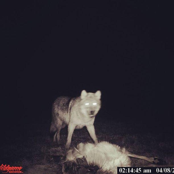 Koulupojan kohdannut susi tallentui riistakameran kuvaan 8. huhtikuuta.