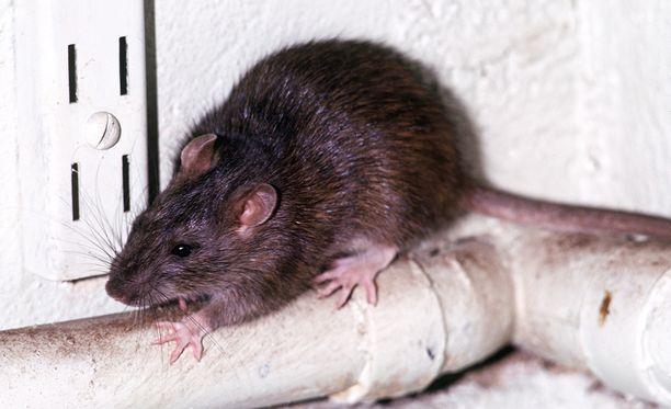 Katlehongin asukkaat kertovat, että paikalliset rotat voivat kasvaa jopa puolen metrin mittaisiksi.