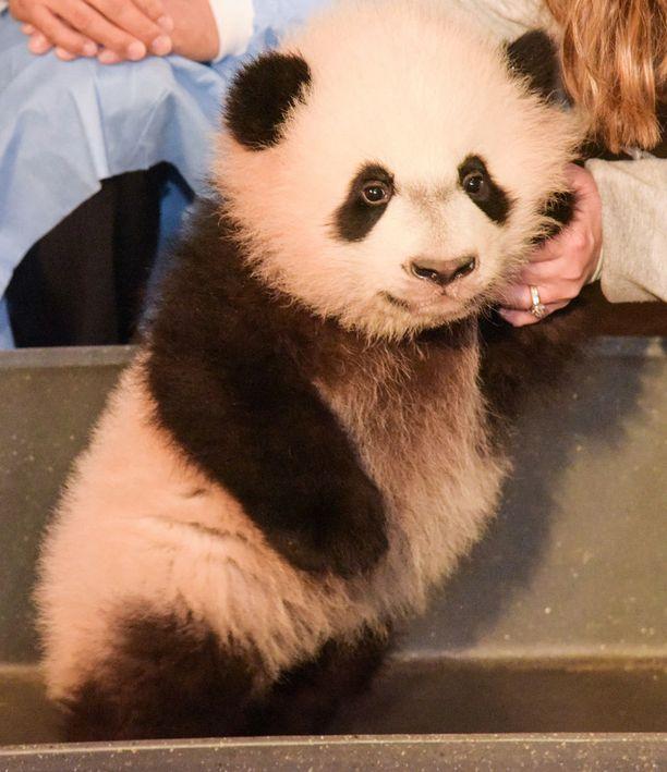 Bei Bei näyttäytyi ensimmäisen kerran julkisuudessa syntymänsä jälkeen tällä viikolla.
