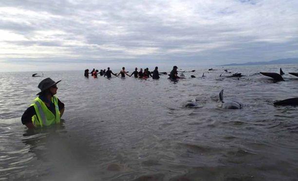 Valaita on saatu mereen, mutta jotkut niistä ovat yrittäneet uida takaisin rannalle. Niitä yritetään pitää vedessä ihmisketjujen avulla.
