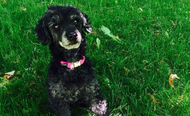 Kolmekiloinen Hilppa-koira menehtyi kuin sitä paljon isompi vapaana ollut koira hyökkäsi kimppuun Hernesaaren rannassa.