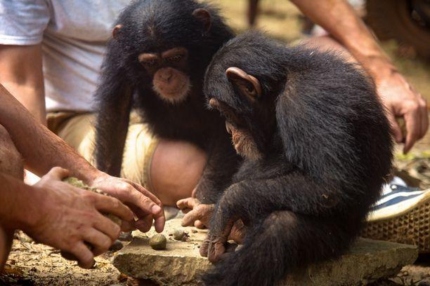 Kaikki turvapaikkaan pelastetut simpanssit ovat orpoja. Ne oppivat emon sijaan ihmisiltä keinoja selviytyä luonnossa.