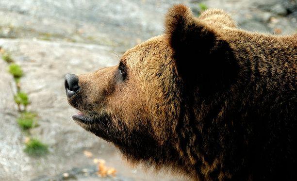 Karhu vei kaksi asetta Irkutskin alueella sijaitsevasta kodasta. Kuvituskuva.