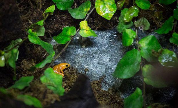 Suomen luonnonsuojeluliitto ja Korkeasaari tekevät yhteistyötä kultamantellan pelastamiseksi sukupuutolta.