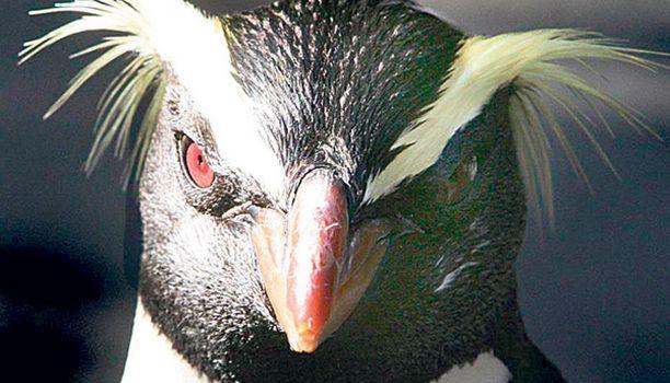 Mulle ei ryppyillä! Milford-niminen vuonopingviini esitti kuvaajalle tuiman poseerauksen Sydneyn eläintarhassa. Harvinaisia vuonopingviinejä tavataan luonnonvaraisina ainoastaan eteläisessä UudessaSeelannissa.