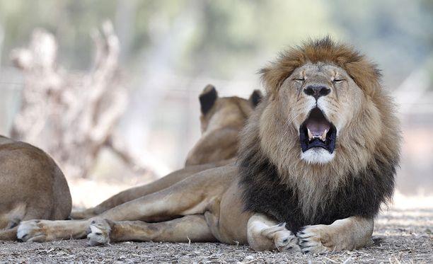 Tutkimuksen mukaan leijonat olivat levinneet aikoinaan lähes koko Afrikkaan, eteläiseen Eurooppaamn ja Lähi-itään, mutta nyt valtaosa leijonapopulaatiosta on kadonnut.
