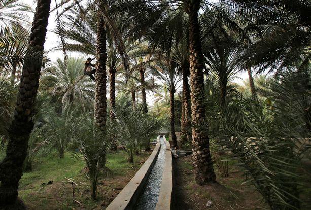 ARABIEMIRAATIT Maanviljelijä Shahid Iqbal kiipeää palmupuuhun, jonka alla virtaa vesikanaali. Kyseinen kanaali pohjautuu perinteiseen Fajal-kastelusysteemiin.