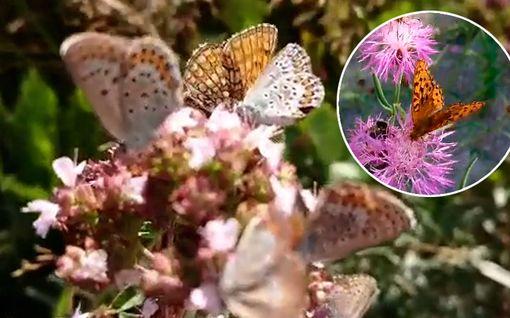 """Huh, mikä perhosparatiisi! Olgan piha on täynnä elämää: """"Olen tästä todella ylpeä!"""""""