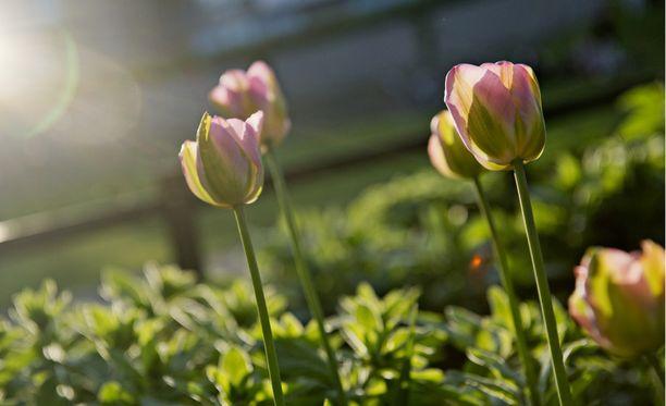 Toukokuisia tulppaaneja iltavalossa. Kun nyt maltat istuttaa sipulit, saat keväällä komean kukkaloiston.
