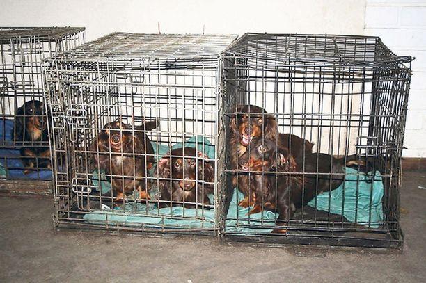KAKSI Samassa pienessä häkissä saattoi olla kaksikin koiraa.