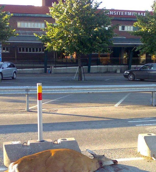 Poliisi joutui lopettamaan Helsingin keskustaan eksyneen peuran