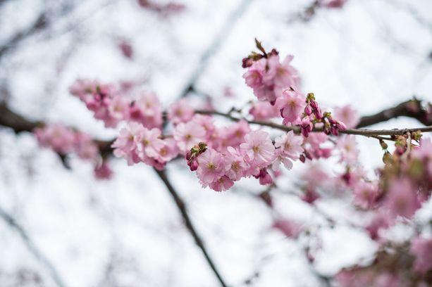 Japani lahjoitti Suomelle kirsikkapuita.