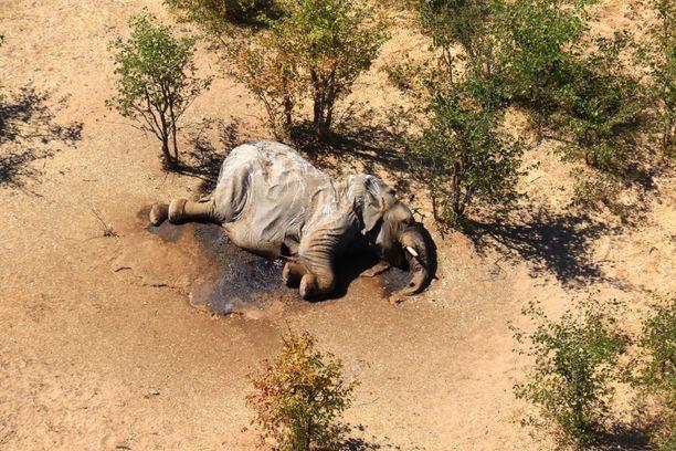 Norsut olivat menehtyneet Okavango-joen välittömään läheisyyteen.
