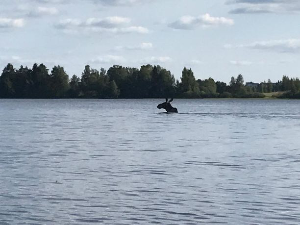 Sini Malminiemi arveli, että hirvi saattoi yrittää rantaan.
