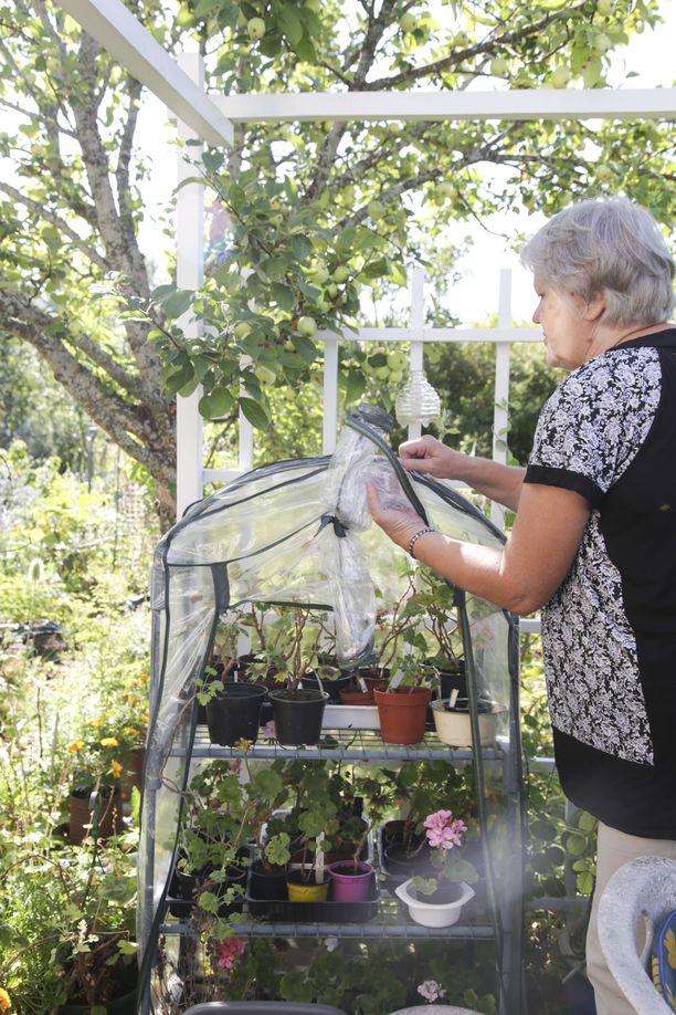 Helena Siren on innostunut pelargonien siemenkasvatuksesta. Pikku taimet pääsevät elämän alkuun minikasvihuoneen hupun alla.