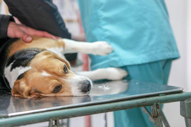 Suomessa koirien veristen suolistosairaustapausten määrä ei ole ollut normaalista poikkeava. Kuvituskuva.