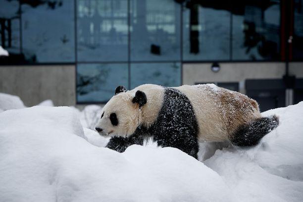 Ähtärin eläinpuisto perustaa tulevaisuutensa Kiinasta lainattujen pandojen varaan.