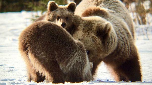 Karhulla menee hyvin. Karhukanta on viime vuosina kasvanut. Nämä otsot heräsivät Suomi 100 -vuoden kevään lumille.