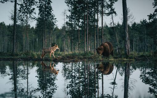 """Timo, 32, ikuisti metsien kuninkaat upeaan yhteiskuvaan – """"Olo on epäuskoinen"""""""