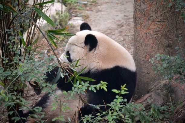 Pandat Suomessa
