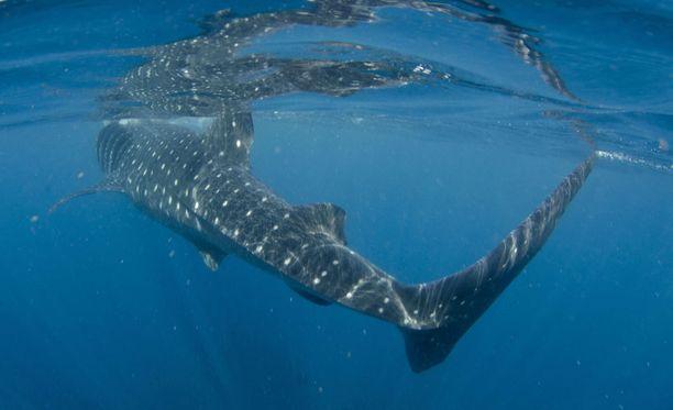 Voimakasta pyrstöevää kannattaa varoa, mutta muutoin valashait ovat ihmisille vaarattomia.