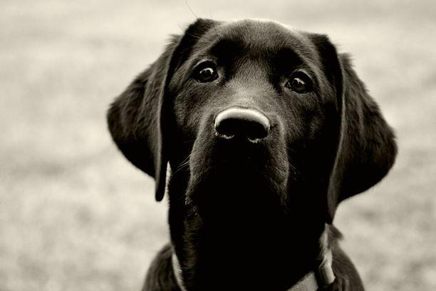 Koulutetusta hypokoirasta on apua diabeetikoille, sillä koira haistaa liian alhaisen verensokerin. Koira voi myös oppia haistamaan syövän jo hyvin varhaisessa vaiheessa.