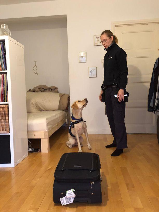 Lutikkakoira Ruu odottaa lupaa päästä tutkimaan yksityisasunnon asukkaan Markuksen matkalaukku  matkan jäljiltä.
