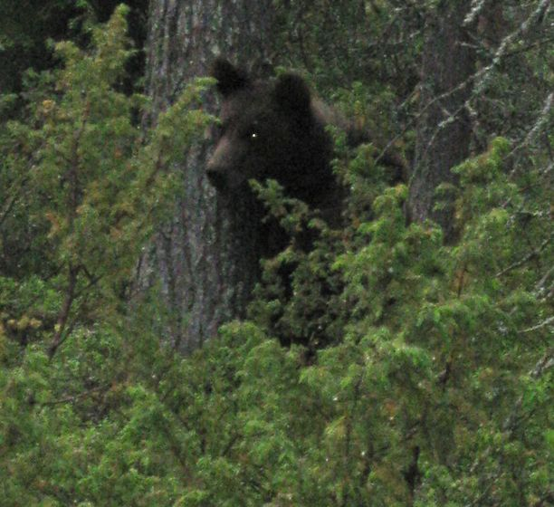 - Karhu kiipesi puuhun ja tuli sieltä jälleen alas, ylikonstaapeli Mauri Liikanen kuvailee.