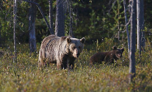 Norjalaismies kertoo paenneensa karhua, joka lopulta törmäsi mäntyyn ja kuoli. Kuvan karhut eivät liity tapaukseen.