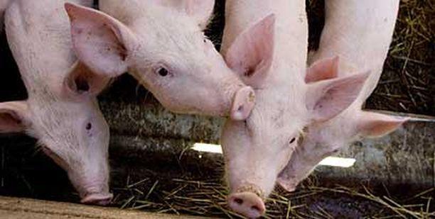 Teurastajayrittäjän mukaan sikojen keittäminen elävänä on ollut vahinko. Kuvan siat eivät liity tapaukseen.