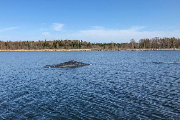 Siikarysään jymähtänyt ryhävalas jäi pelastajiensa tuntumaan uimaan.