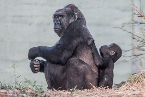 Gorilla on erittäin fiksu eläin.