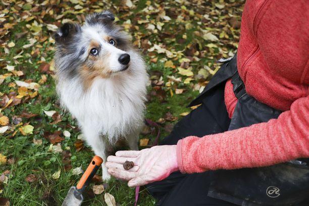Vilja odottaa kiltisti, että se saa palkkion löytämästään sienestä. Vain löydetyistä tryffeleistä on tiedossa palkinto.