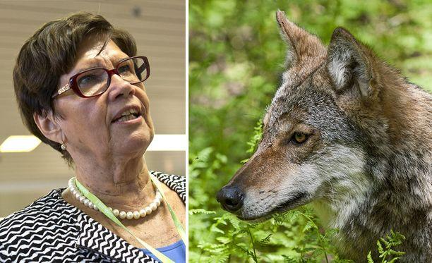 Entinen maa- ja metsätalousministeri Sirkka-Liisa Anttila selventää Iltalehdelle väitettään siitä, että susia olisi siirrelty jonkun hänen edeltäjänsä aikana.