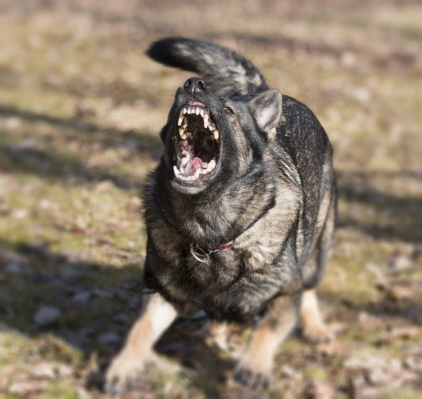 Texasilaisen miehen 18 koirasta 13 on jouduttu lopettamaan aggressiivisen käytöksen takia. Kuvituskuva.