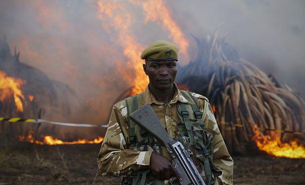 Kenialainen riistanvartija vahtaa, että takavarikoidut norsunluut saadaan poltettua.