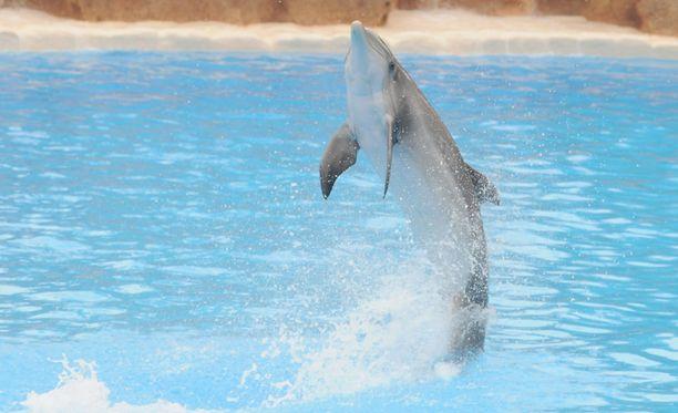"""""""Pyrstöllä kävely"""" on tuttu näky delfinaarioissa. Billie-niminen delfiini (ei kuvassa) oppi sen vankeusaikanaan ja päästyään vapauteen muut oppivat tempun siltä."""