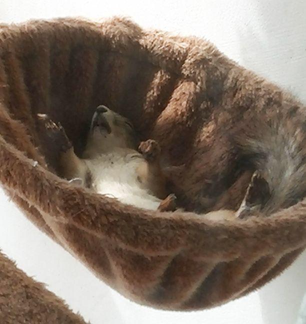 Kissapuun pussukassa koisiva orava käyttää nukkuma-asentonaan sarjakuvista tuttua tyyliä. Vain peitto puuttuu!