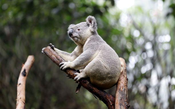 Uuden Etelä-Walesin koaloja uhkaa sukupuutto. Kuvituskuva.