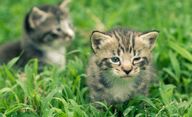 Suloisille kissanpennuille etsitään koteja.