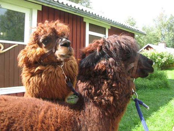 Jippo ja Armas tulivat Jokiselle ensimmäisenä alpakoista. Jokisen mukaan ne olivat koko ajan parhaat kaverit keskenään.