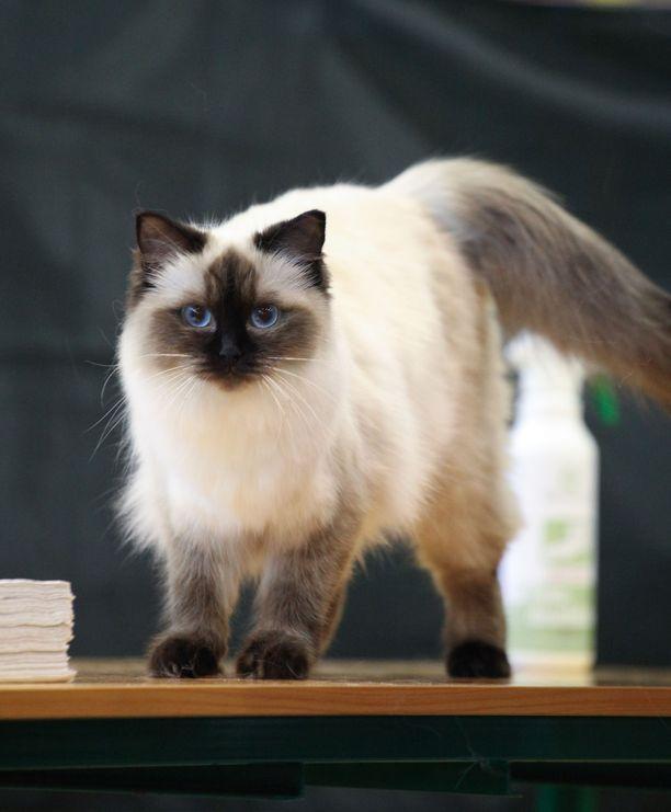 Sinisilmäinen ja kookas ragdoll on ollut jo pitkään yksi Suomen suosituimmista kissaroduista.