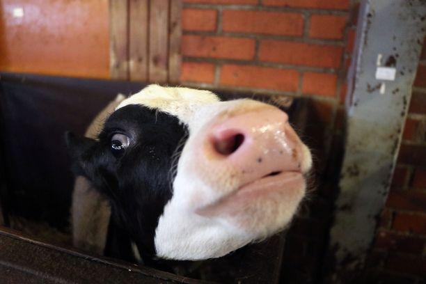 Lehmä ei selvinnyt hengissä lietekouruun juuttumisesta. Kuvituskuva.