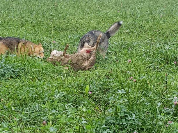 Anita Korhola ehti pysäyttämään kahden karanneen koiran hyökkäyksen lampaiden kimppuun vantaalaisella tilalla. Hän kertoo ottaneensa koirista kuvat tunnistusta varten.